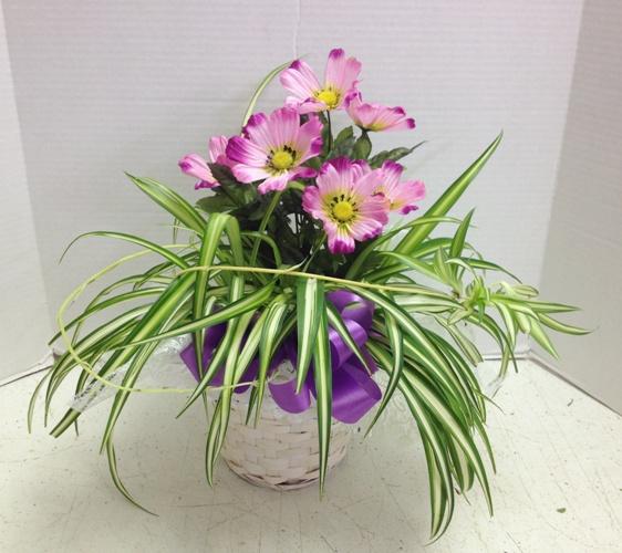 corduline spider plant