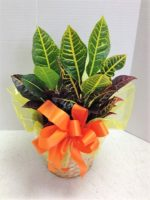 Cheerful Croton