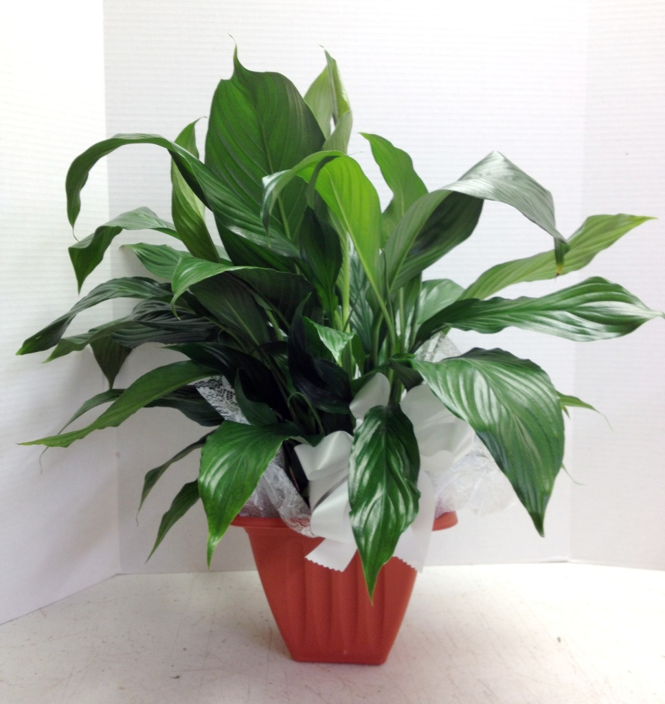 Traditional Peace Lily Florist Phoenix Flower Delivery Phoenix
