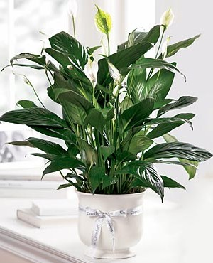 Long lasting sentiment peace lily