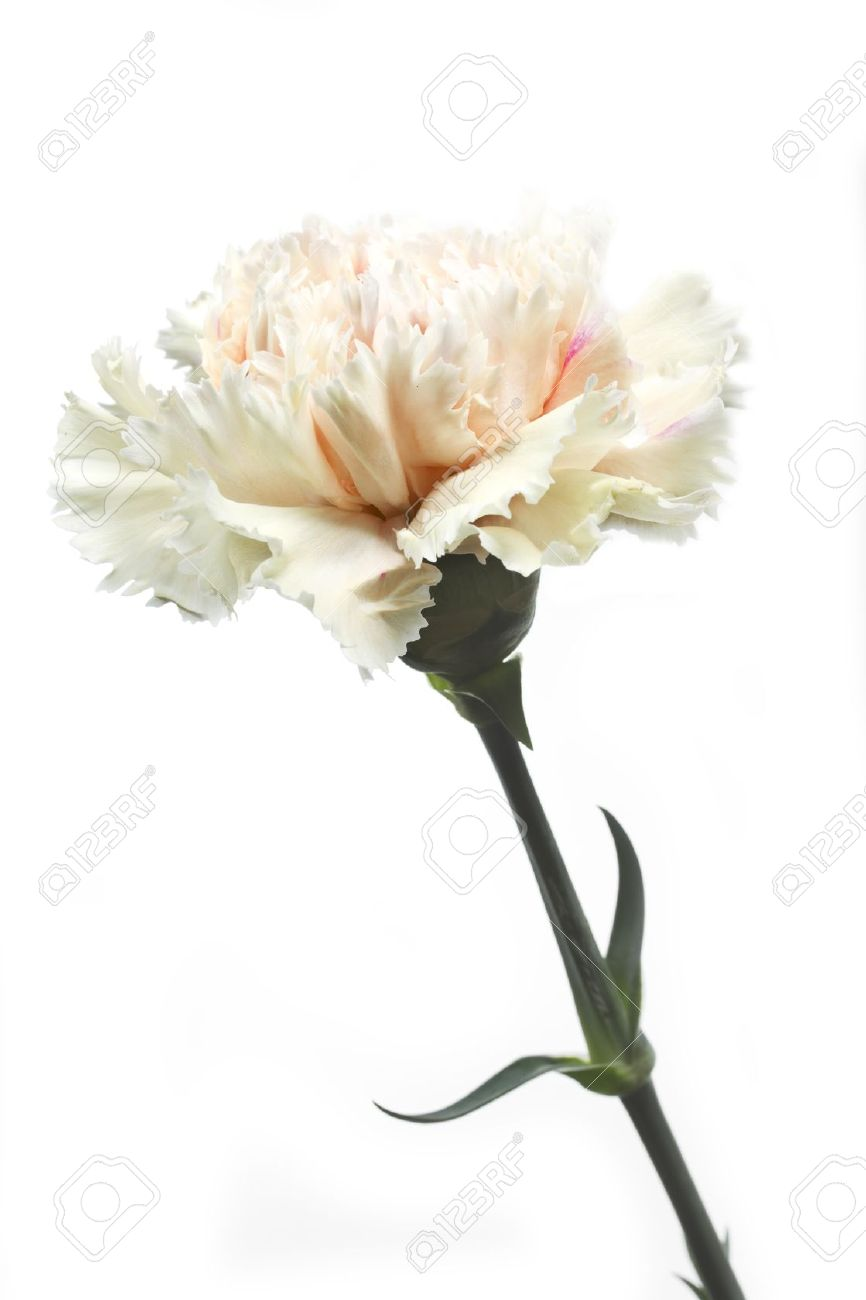 White Carnations Flowers Image Collections Fresh Lotus Flowers