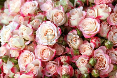field roses