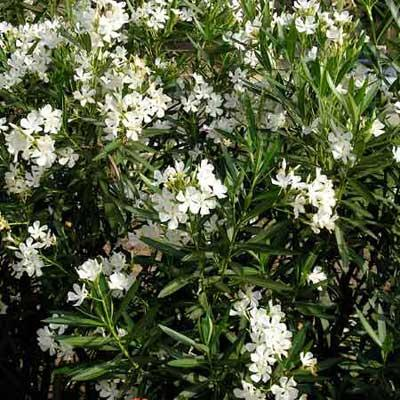 Deadliest oleander