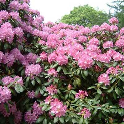 Deadliest rhodedendron